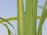 Sugarcane yellow leaf virus © P. Rott